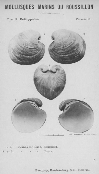 Bucquoy et al. (1887-1898, pl. 51)