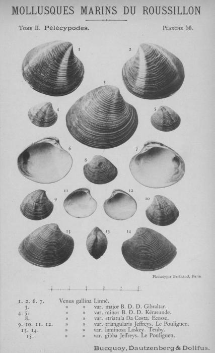 Bucquoy et al. (1887-1898, pl. 56)