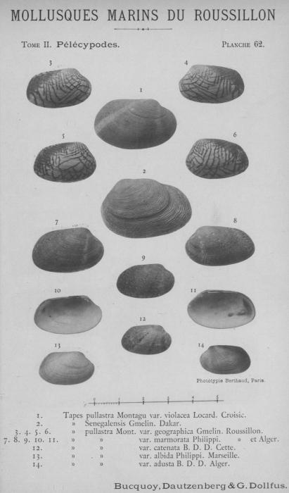 Bucquoy et al. (1887-1898, pl. 62)