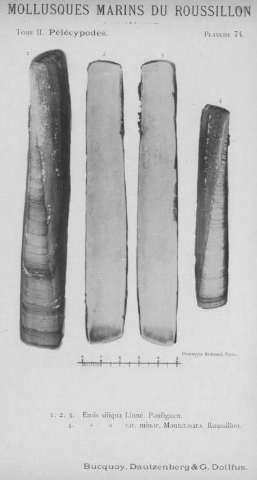 Bucquoy et al. (1887-1898, pl. 74)