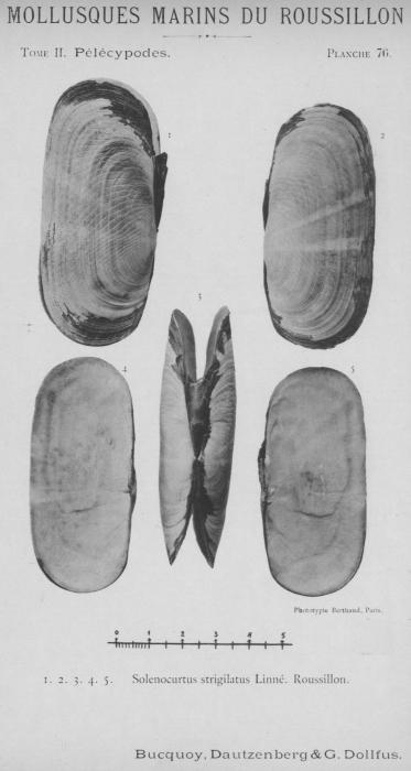 Bucquoy et al. (1887-1898, pl. 76)