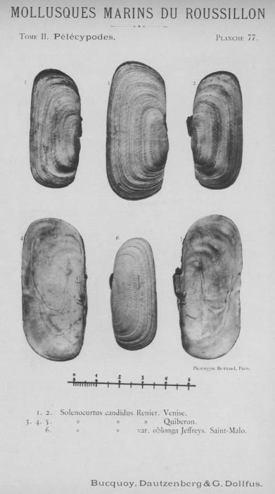 Bucquoy et al. (1887-1898, pl. 77)