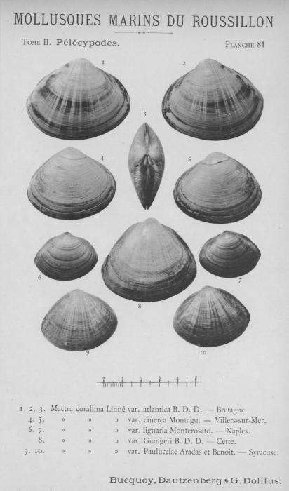 Bucquoy et al. (1887-1898, pl. 81)
