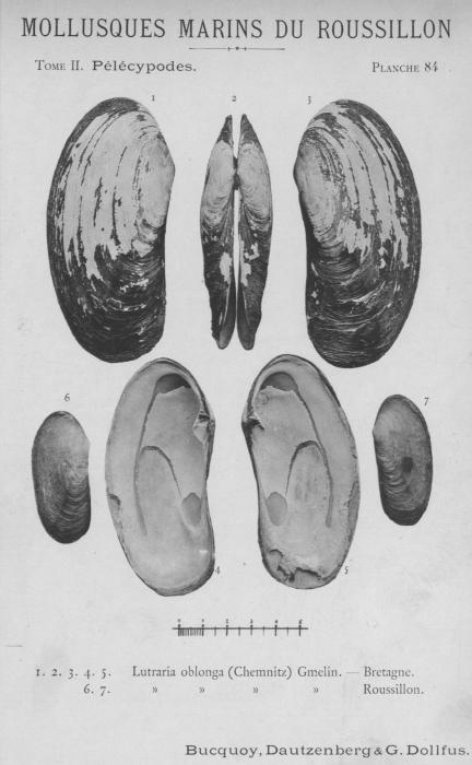 Bucquoy et al. (1887-1898, pl. 84)