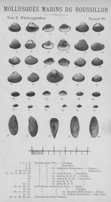 Bucquoy et al. (1887-1898, pl. 85)