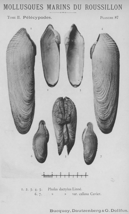 Bucquoy et al. (1887-1898, pl. 87)