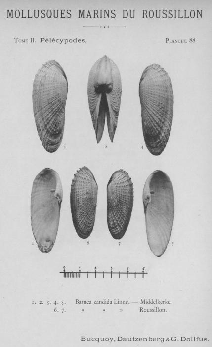 Bucquoy et al. (1887-1898, pl. 88)