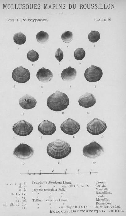 Bucquoy et al. (1887-1898, pl. 90)