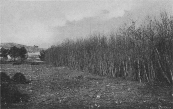Massart (1913, foto 37)