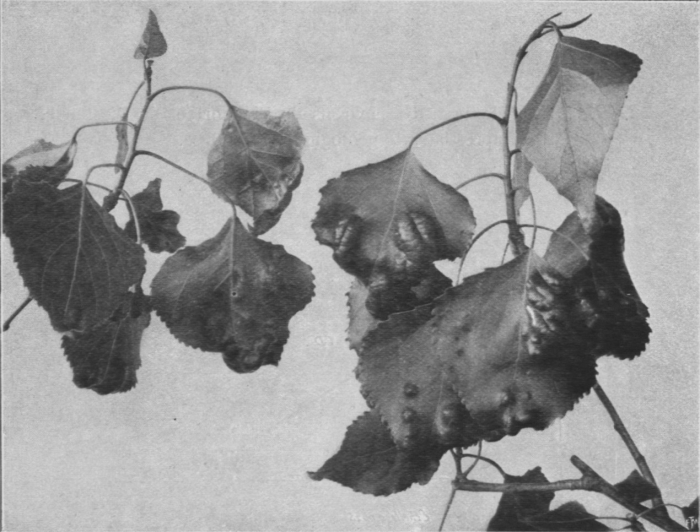 Massart (1913, foto 42)