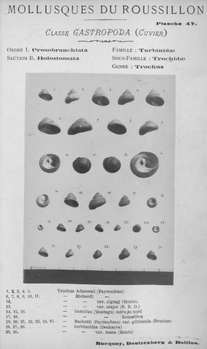 Bucquoy et al. (1882-1886, pl. 47)