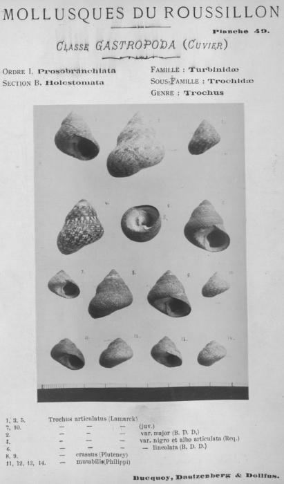 Bucquoy et al. (1882-1886, pl. 49)
