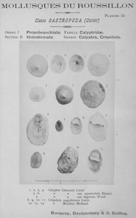Bucquoy et al. (1882-1886, pl. 55)