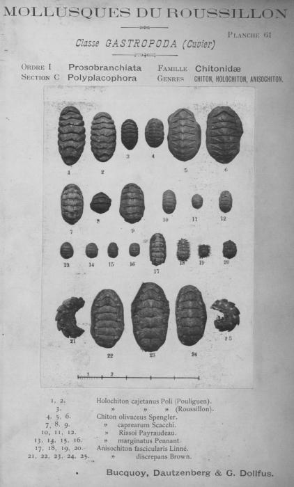 Bucquoy et al. (1882-1886, pl. 61)