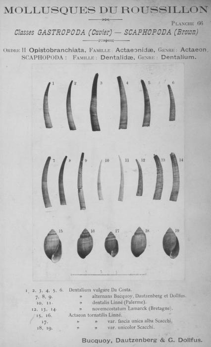Bucquoy et al. (1882-1886, pl. 66)