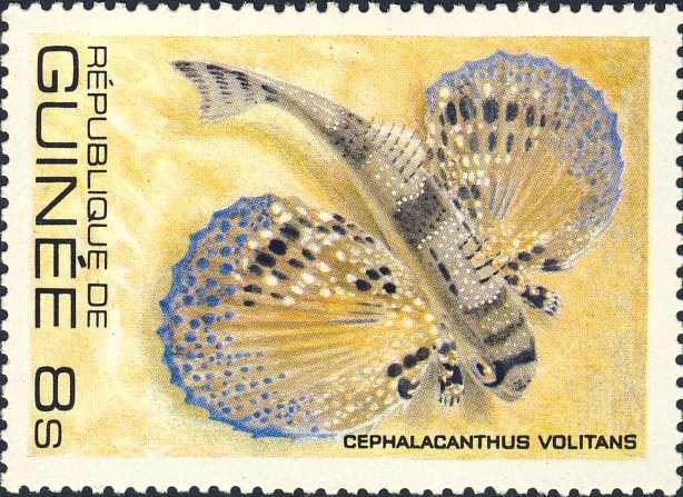 Cephalacanthus volitans
