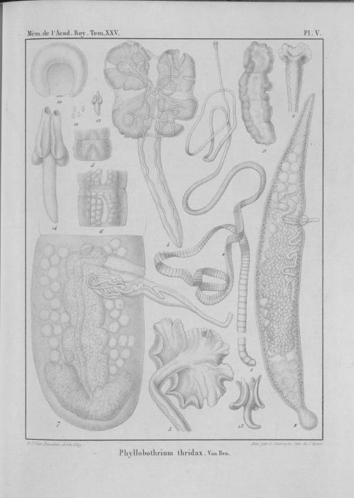 Van Beneden (1850, pl. 05)