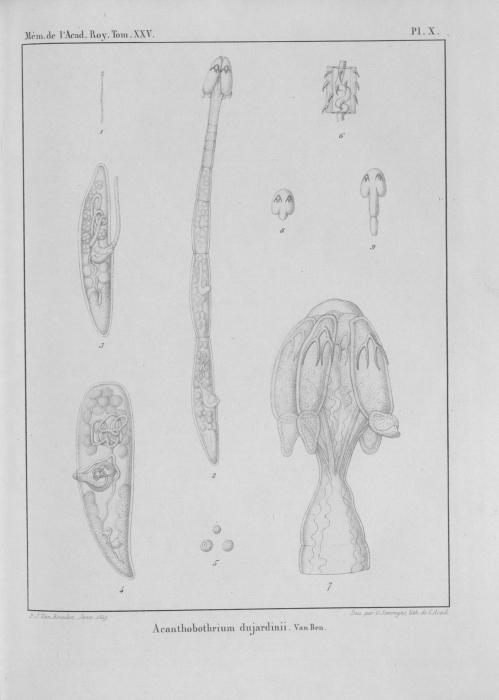 Van Beneden (1850, pl. 10)