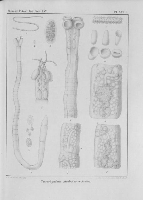 Van Beneden (1850, pl. 18)