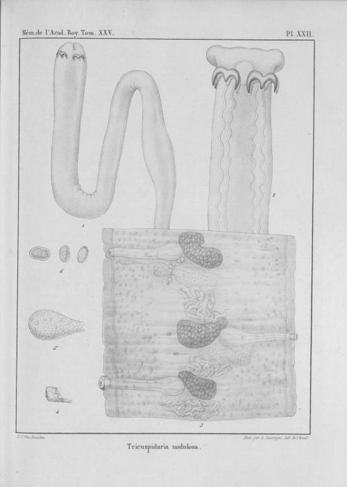 Van Beneden (1850, pl. 22)
