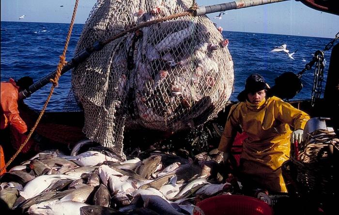 Jagen op paaiende kabeljauw