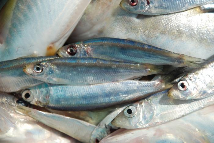 Semi-pelagische vissen