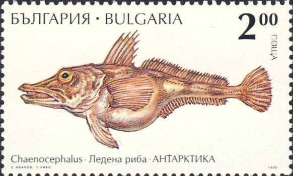 Chaenocephalus aceratus