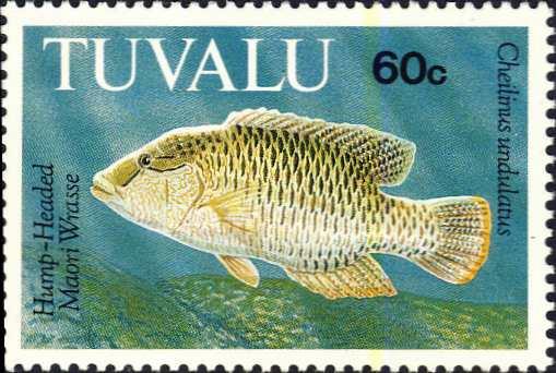 Cheilinus undulatus