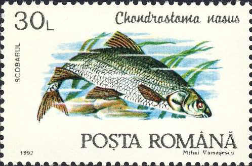 Chondrostoma nasus