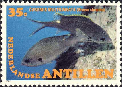 Chromis multilineata