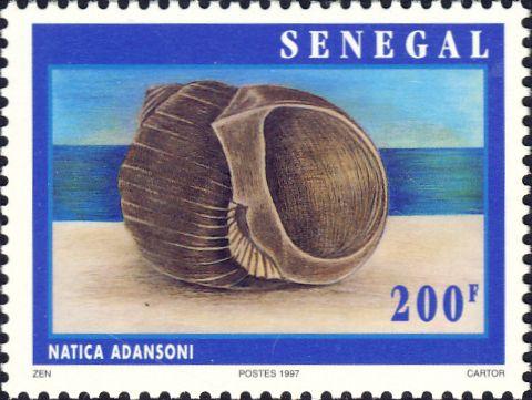 Natica adansoni