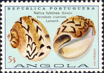 Natica fulminea
