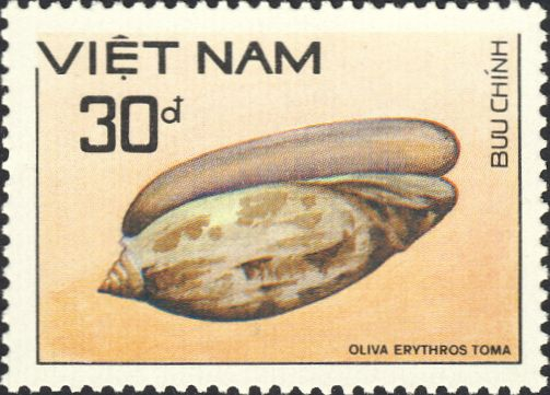 Oliva erythrostoma