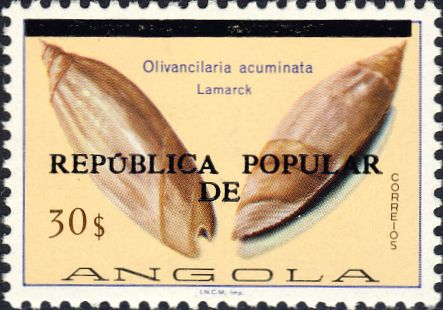 Olivancillaria acuminata