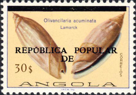 Olivancillaria acuminata