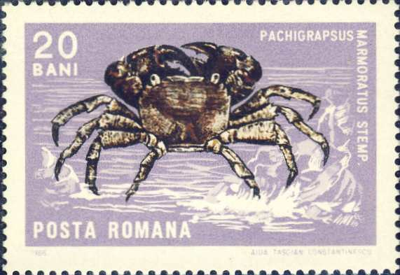 Pachygrapsus marmoratus