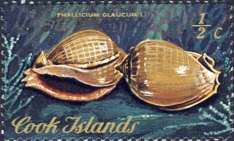 Phalium glaucum