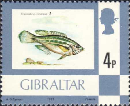 Crenilabrus cinereus