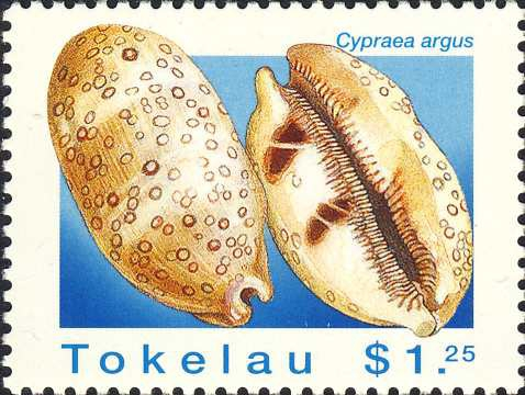Cypraea argus