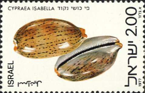 Cypraea isabella
