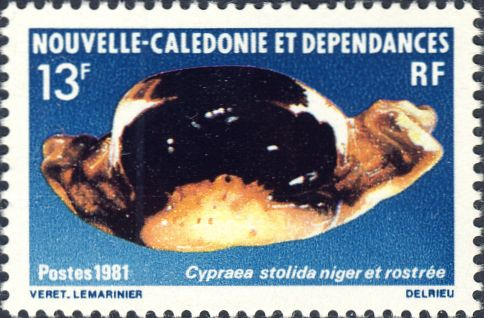 Cypraea stolida