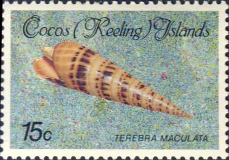 Terebra maculata