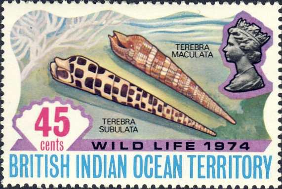 Terebra maculata & Terebra subulata