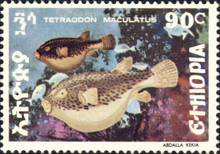 Tetraodon maculatus