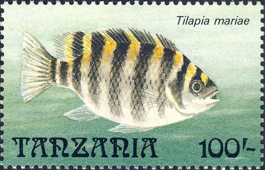 Tilapia mariae