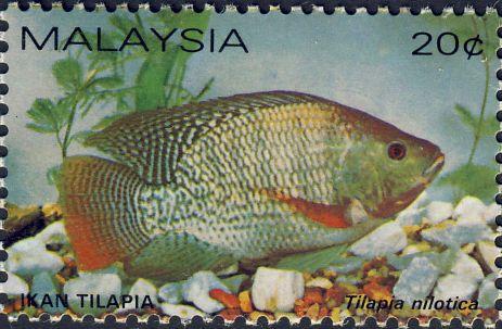 Tilapia nilotica