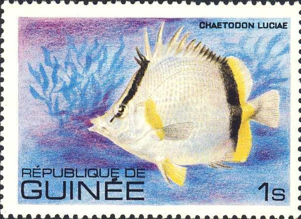 Chaetodon luciae