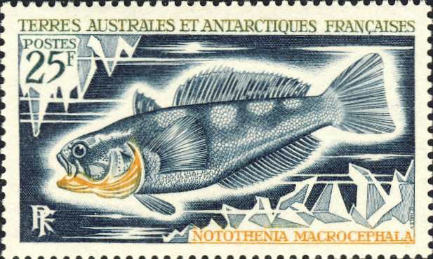 Notothenia macrocephalus