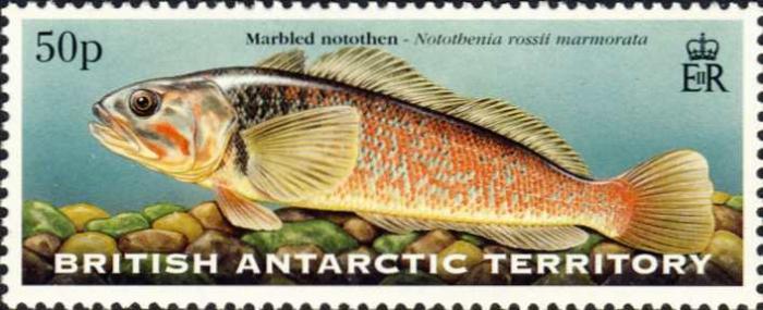 Notothenia rossii marmorata
