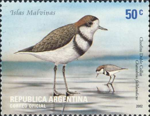 Charadrius falklandicus